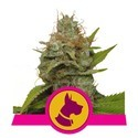 Kali Dog (Royal Queen Seeds) femminizzata