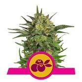 Haze Berry (Royal Queen Seeds) feminized