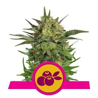 Haze Berry (Royal Queen Seeds) feminisiert