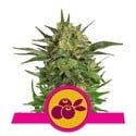 Haze Berry (Royal Queen Seeds) feminisiert