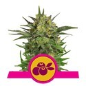 Haze Berry (Royal Queen Seeds) femminizzata