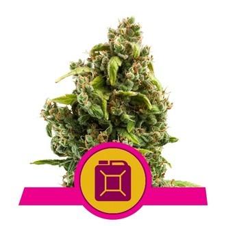 Sour Diesel (Royal Queen Seeds) femminizzata