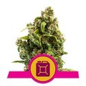 Sour Diesel (Royal Queen Seeds) feminisiert