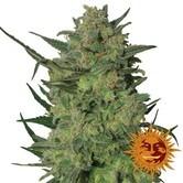 LSD (Barney's Farm) femminizzata