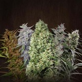 ACE Mix (ACE Seeds) feminisiert