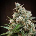 Nepal Jam (ACE Seeds) Feminized