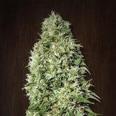 Orient Express (ACE Seeds) feminized