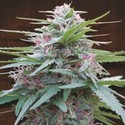 Panama (ACE Seeds) feminized