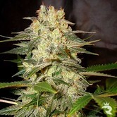 Afghan Kush Ryder (World Of Seeds) feminisiert