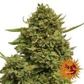 Pineapple Chunk (Barney's Farm) feminized