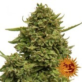 Pineapple Chunk (Barney's Farm) Femminizzata