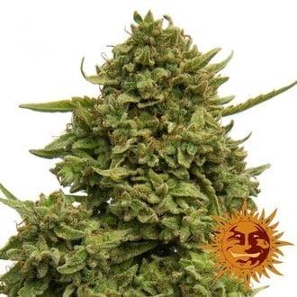 Pineapple Chunk (Barney's Farm) feminisiert