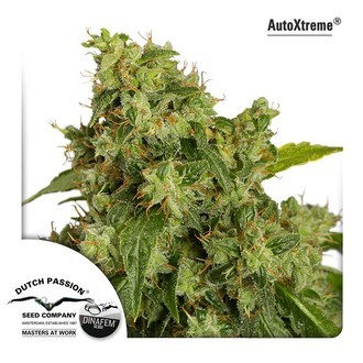 AutoXtreme (Dutch Passion) feminized