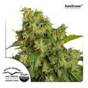 Auto Xtreme (Dutch Passion) feminized