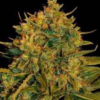 Northern Light x Big Bud Ryder (World Of Seeds) feminized