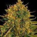 Northern Light x Big Bud Ryder (World Of Seeds) feminisiert