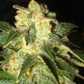 Pakistan Ryder (World Of Seeds) feminized