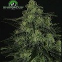 Black valley (Ripper Seeds) femminizzata