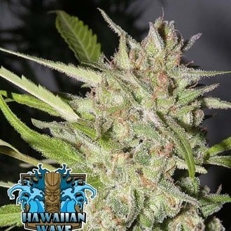 Hawaiian Wave (Ripper Seeds) femminizzata