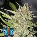Hawaiian Wave (Ripper Seeds) feminisiert