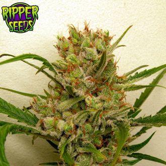 Ripper Haze (Ripper Seeds) feminisiert