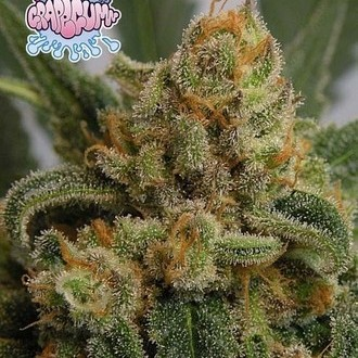 Grapegum (Ripper Seeds) feminized