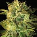 Sugar Mango Ryder (World Of Seeds) feminisiert