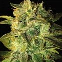 Sugar Mango Ryder (World Of Seeds) feminized