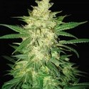 Sweet Coffee Ryder (World Of Seeds) feminized