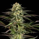 Kush-n-Cheese (Dinafem) feminized