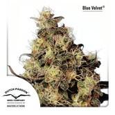 Blue Velvet (Dutch Passion) femminizzata