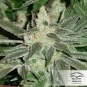 Blue Velvet (Dutch Passion) feminized