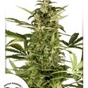 Polarlight 3 (Dutch Passion) feminized