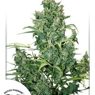 Tundra 2 (Dutch Passion) feminized