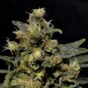 A-K (CBD Seeds) feminized
