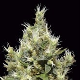 Northern (CBD Seeds) feminized
