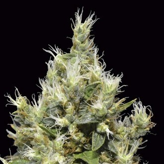 Northern (CBD Seeds) femminizzata