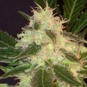 Widow (CBD Seeds) feminisiert