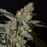Shark (CBD Seeds) feminisiert