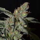 Shark (CBD Seeds) feminized