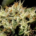 Yumbolt (CBD Seeds) feminized