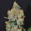 Lavender (CBD Seeds) feminisiert