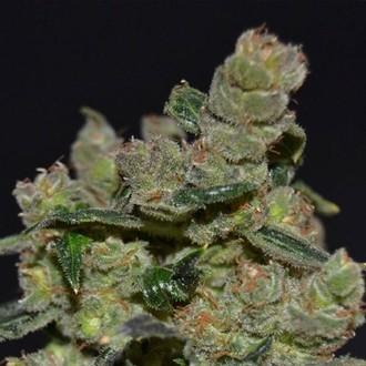 Diesel (CBD Seeds) femminizzata