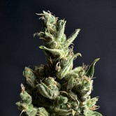 Amnesia 5 (CBD Seeds) feminized