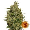 Sweet Tooth (Barney's Farm) feminized