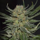Domina (CBD Seeds) feminized