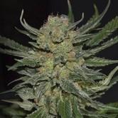 Domina (CBD Seeds) femminizzata