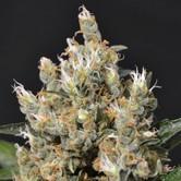 Kali (CBD Seeds) femminizzata