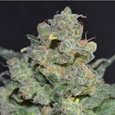 Cheese (CBD Seeds) feminized