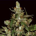 Auto Widow (CBD Seeds) feminisiert